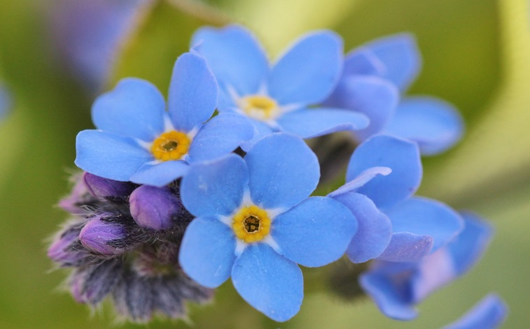 forget-me-not-737408 1920